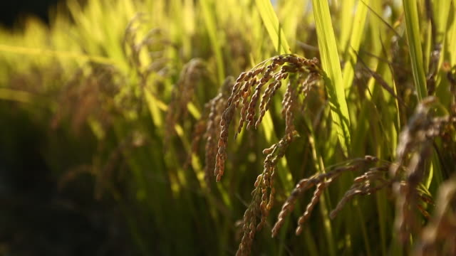 ripe rice plants / south korea - stationary process plate stock videos & royalty-free footage