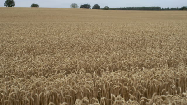 ripe rye on a large field. idyllic summer landscape - flour stock videos and b-roll footage