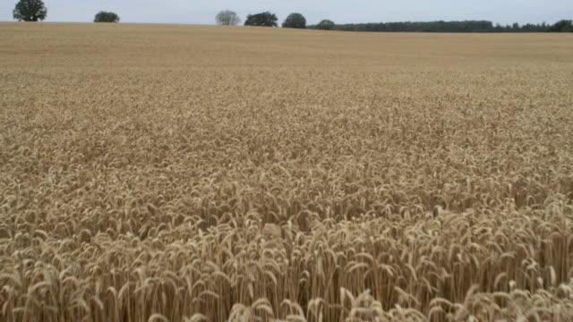 Ripe rye on a large field. Idyllic summer landscape