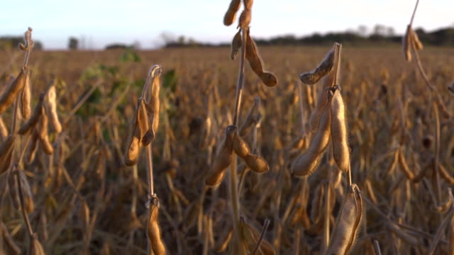 vídeos de stock, filmes e b-roll de cu tu ripe soybeans in a field  grown from gentically modified seed at sunset / chelsea, michigan, united states  - soja