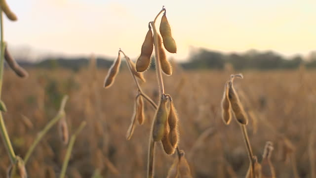 ms pan ripe soybeans in a field  grown from gentically modified seed / chelsea, michigan, united states  - soya bean stock videos & royalty-free footage