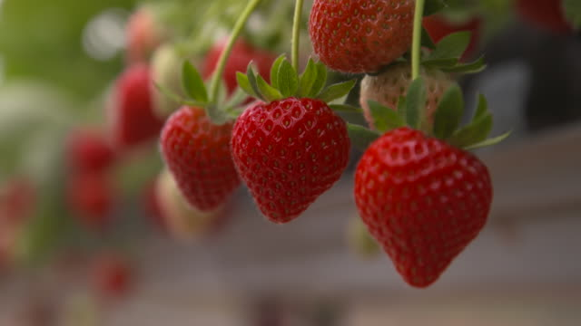 ripe strawberry fruits, uk - rack focus stock videos & royalty-free footage