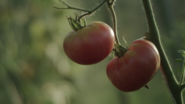 Ripe tomato close up