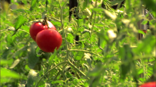 ripe tomatoes on vine - tomato stock videos & royalty-free footage