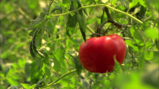 ripe tomatoes on vine - see other clips from this shoot 1425 stock videos and b-roll footage
