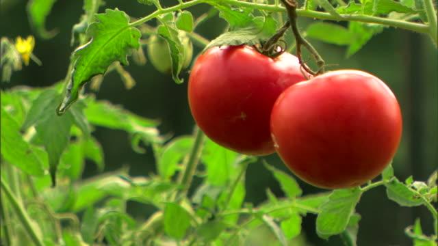 vídeos y material grabado en eventos de stock de ripe tomatoes on vine - land