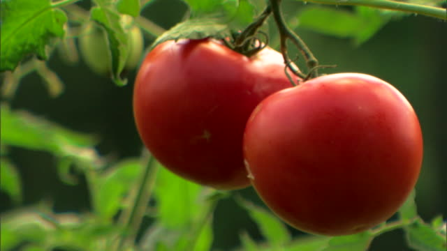 ripe tomatoes on vine - see other clips from this shoot 1425 stock videos & royalty-free footage