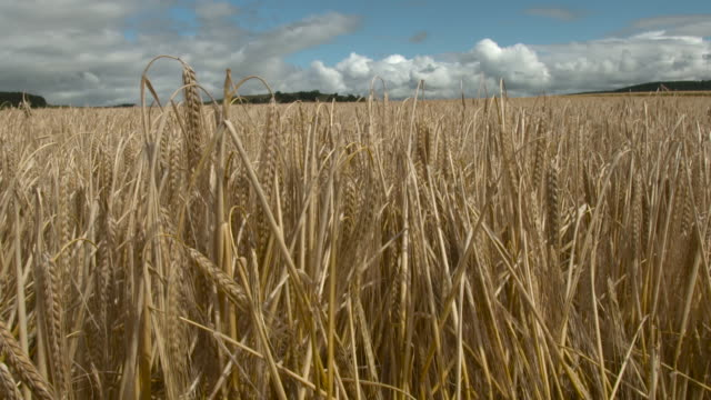 stockvideo's en b-roll-footage met ripe wheat crop in field, uk - cereal plant