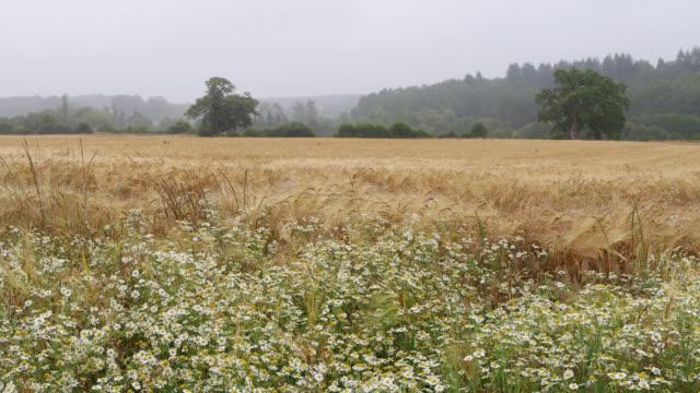 vidéos et rushes de ripe wheat fields with rainy weather - prairie