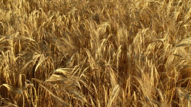 HD SLOW-MOTION: Ripe Wheat
