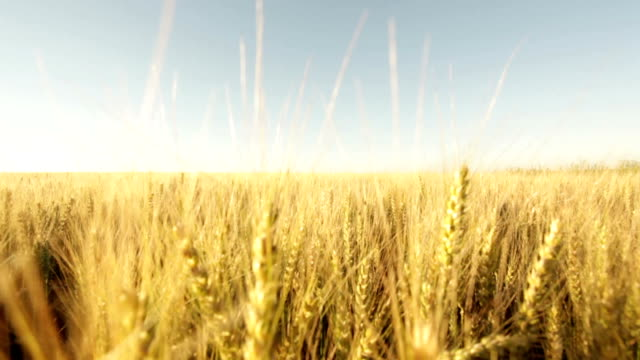 ripe wheatfield - dolly shot stock videos & royalty-free footage