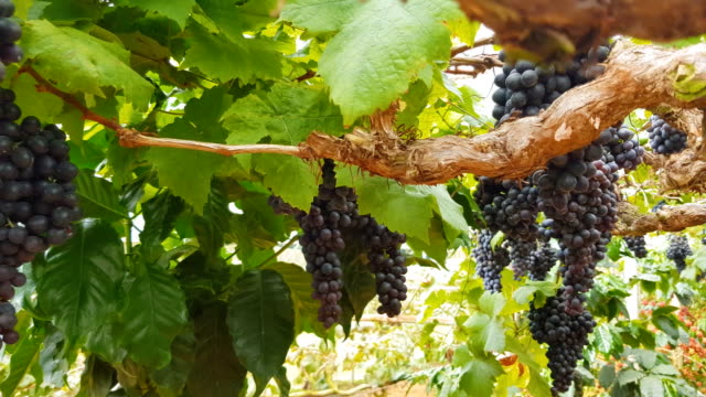 ripe white wine grapes plants on vineyard in france, white ripe muscat grape new harvest - raisin stock videos & royalty-free footage