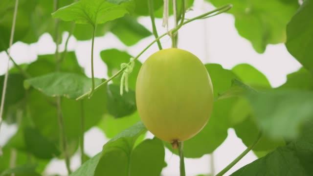 Melão amarelo maduro na planta