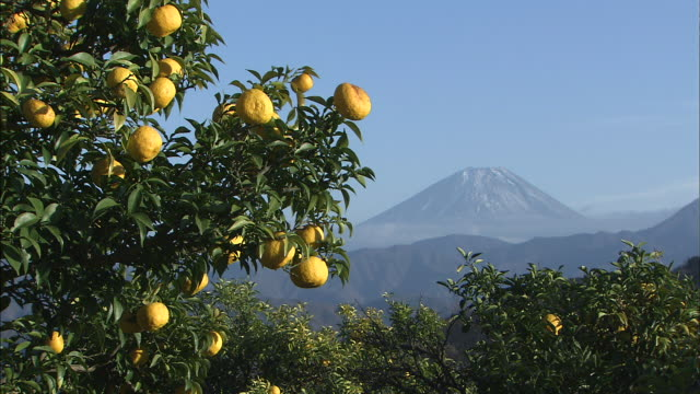 ripe yuzu fruit hang from a tree with mt. fuji in the distance. - citrus fruit stock videos & royalty-free footage