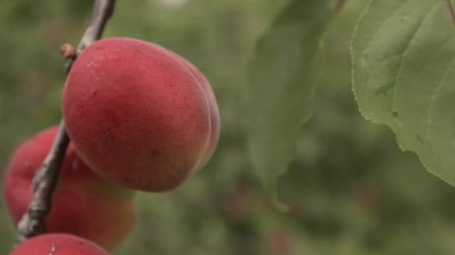 ripening apricots in orchard, uk - fruit tree stock videos & royalty-free footage