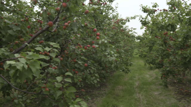 ripening apricots in orchard, uk - apricot stock videos & royalty-free footage