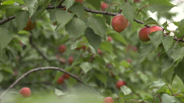 ripening apricots in orchard, uk - crop stock videos & royalty-free footage