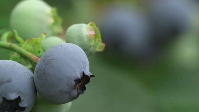 ripening blueberries on farm, uk - blueberry stock videos & royalty-free footage