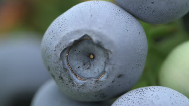 vidéos et rushes de ripening blueberries on farm, uk - antioxydant