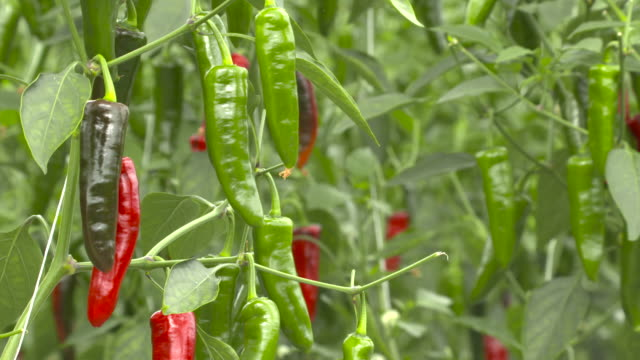 ripening chilli crop in polytunnel greenhouse, uk - raw food stock videos & royalty-free footage