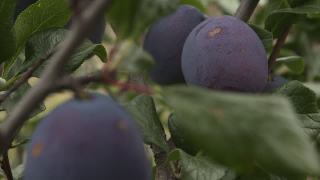 ripening plums in orchard, uk - plum stock videos & royalty-free footage