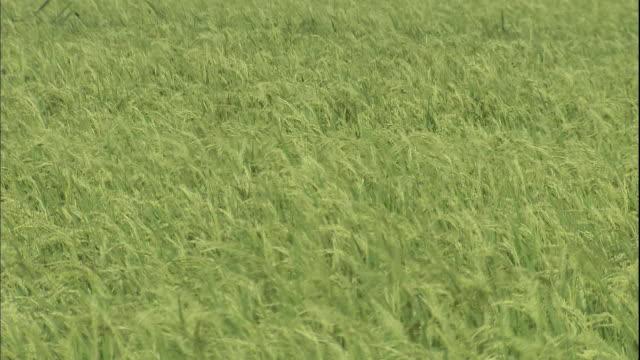 ripening stalks of rice bend in the wind. - モミ点の映像素材/bロール