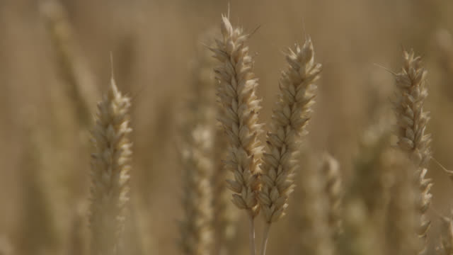 Ripening wheat (Triticum aestivum) crop in field, Somerset, England