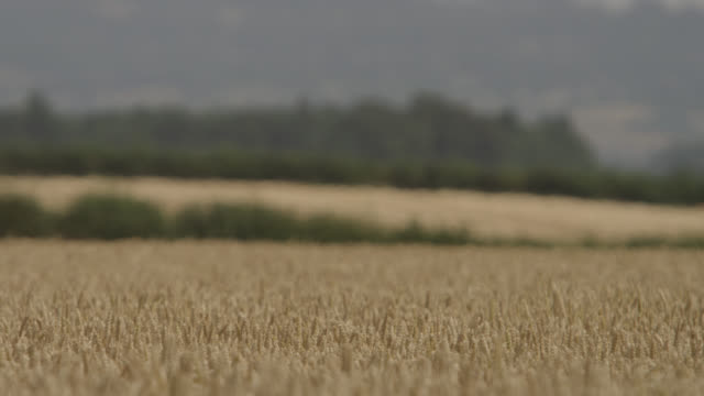 Ripening wheat (Triticum aestivum) crop in field, Somerset, England