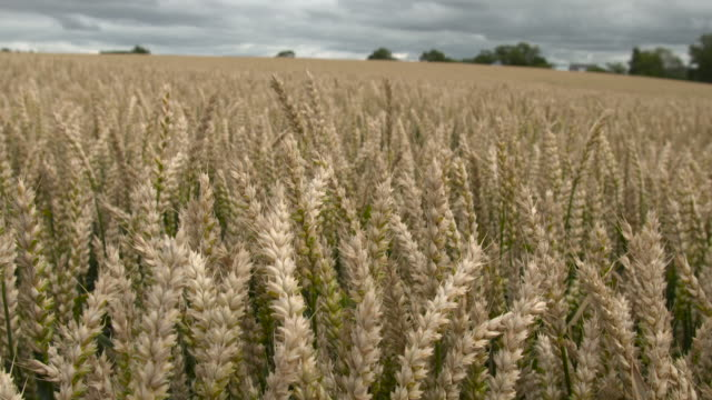 stockvideo's en b-roll-footage met ripening wheat crop in field, uk - cereal plant