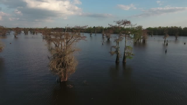 rise over cypress trees in swamp - drone aerial 4k everglades, swamp bayou with wildlife alligator nesting ibis, anhinga, cormorant, snowy egret, spoonbill, blue heron, eagle, hawk, cypress tree 4k nature/wildlife/weather drone aerial video - sumpf stock-videos und b-roll-filmmaterial