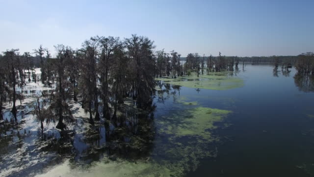 Rise over tree tops in swamp reveal - Drone Aerial 4K Everglades, Swamp bayou with wildlife alligator nesting Ibis, Anhinga, Cormorant, Snowy Egret, Spoonbill, Blue Heron, eagle, hawk, cypress tree 4K Nature/Wildlife/Weather