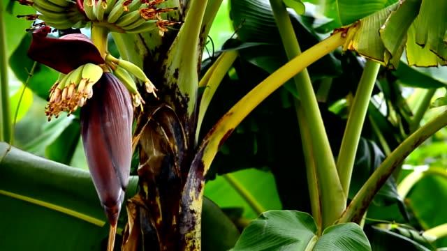 vídeos de stock, filmes e b-roll de fruta e flor de bananeira de guindaste crescente - banana de são tomé