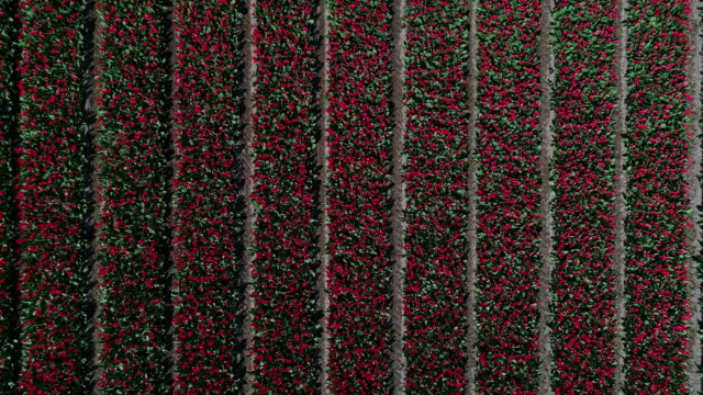 rising up drone shot showing rows of red tulips, netherlands - parallele geometrie stock-videos und b-roll-filmmaterial