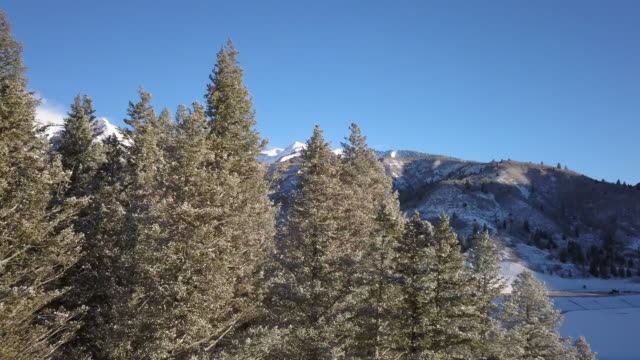 Rising view above pine trees in morning after fresh snow