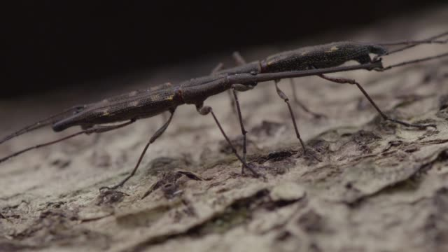 Rival male giraffe weevils duel on tree, New Zealand