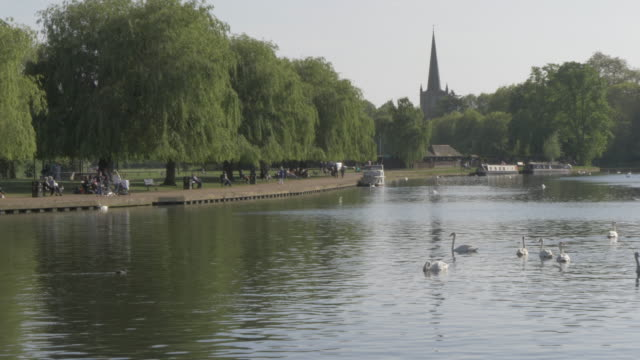 stockvideo's en b-roll-footage met river avon in stratford upon avon, warwickshire, england, united kingdom, europe - knobbelzwaan