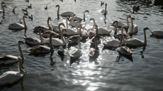 stockvideo's en b-roll-footage met river avon swans - knobbelzwaan