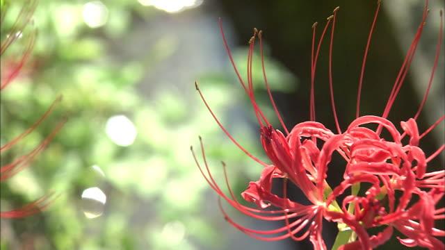 vídeos y material grabado en eventos de stock de river flowing beyond red spoider lilies   ms - hymenocallis caribaea