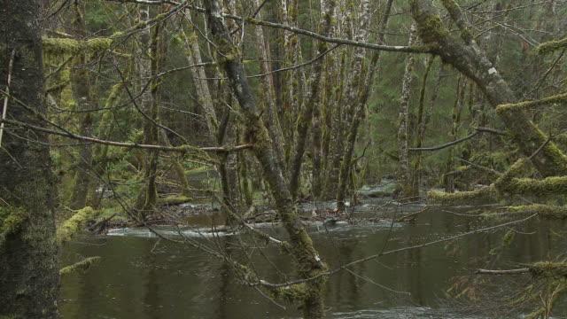 vídeos de stock e filmes b-roll de ws zo river flowing through moss covered forest/ sandspit, british columbia, canada - banco de areia