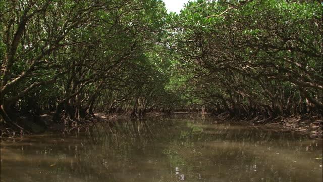 A river flows through a mangrove forest.