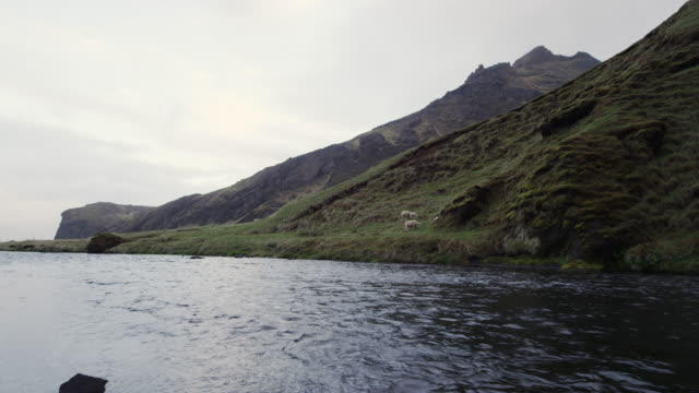 river in iceland with sheep - mittelgroße tiergruppe stock-videos und b-roll-filmmaterial