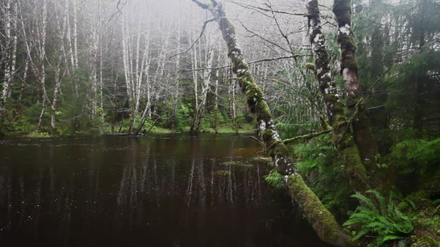ws river moss covered forest / sandspit, british columbia, canada - alder tree stock videos & royalty-free footage
