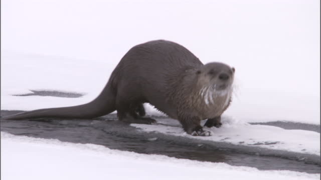 river otter (lontra canadensis) enters stream in snow, yellowstone, usa - otter stock-videos und b-roll-filmmaterial