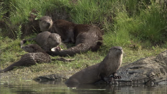 river otter (lontra canadensis) family relaxes, yellowstone, usa - animal family stock videos and b-roll footage