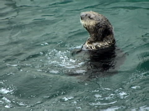 river otter in the water - otter stock videos & royalty-free footage