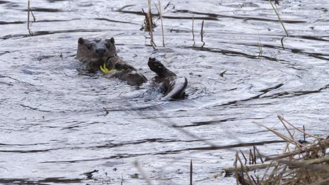 vídeos y material grabado en eventos de stock de nutria de río (lutra lutra) jugando en primavera, bielorrusia - nutria de río