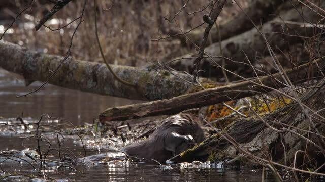 river otter (lutra lutra) spelar på våren, vitryssland - akvatisk organism bildbanksvideor och videomaterial från bakom kulisserna