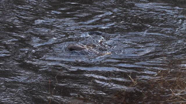 river otter (lutra lutra) playing in springtime, belarus - aquatic organism stock videos & royalty-free footage