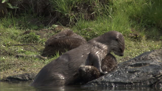 river otter (lontra canadensis) plays with juvenile, yellowstone, usa - otter stock videos & royalty-free footage