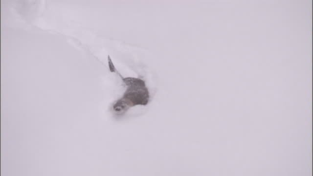river otter (lontra canadensis) runs and toboggans on snowy slope, yellowstone, usa - otter stock videos & royalty-free footage